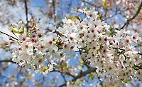 Nederland   Amstelveen   2017 04 08. Cherry Blossom Festival in het Amsterdamse Bos . Het Japanse Sakura (Kersenbloesemfestival) markeert de start van de lente. Volgens traditie vieren families en vrienden dit met een picknick onder de kersenbomen die in bloei staan. De gemeente Amstelveen organiseert dit festival voor de Japanse gemeenschap, als dank voor de schenking van 400 kersenbomen in 2000.  Berlinda van Dam / Hollandse Hoogte
