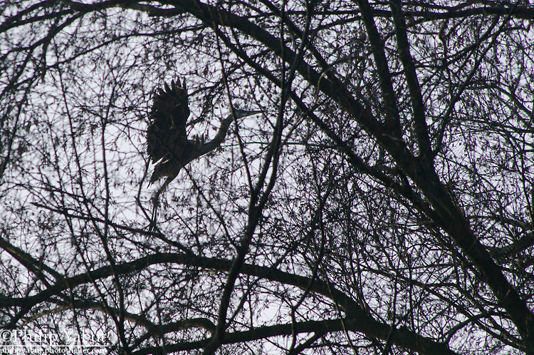 A great blue heron takes off in the trees above the Conowingo Dam parking lot.<br />