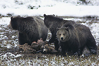 This Grizzly bear family (Ursus arctos horribilis) is a mother (sow) on the right and two yearling cubs. It is early May and they have come upon a windfall, a winter killed bison. <br />