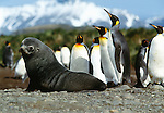 Southern fur seal with king penguins, South Georgia Island