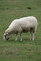 In lamb ewes grazing<br /> &copy;Tim Scrivener Photographer 07850 303986<br />      ....Covering Agriculture In The UK....