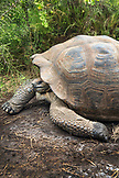 GALAPAGOS ISLANDS, ECUADOR, giant land tortoise spotted while exploring the west side of Isabela at the base of Alcedo and Darwin Volcanoes