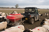 Feeding in lamb ewes with a snacker towed behind and ATV<br /> &copy;Tim Scrivener Photographer 07850 303986<br /> ....Covering Agriculture In The UK....