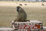 Parc national d'Amboseli au pied du Kilimandjaro. Kenya