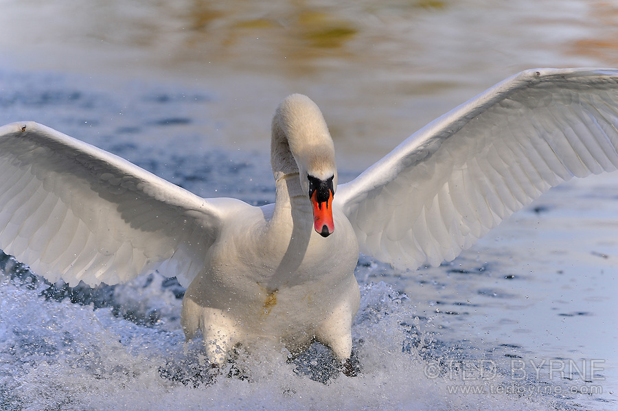 Close-up of swan touching down, landing in lake