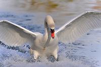 Close-up of swan touching down, landing in lake