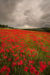 WEATHER INPUT.  Rain showers.<br /> <br /> A sea of red poppies on display under a stormy sky in Wimborne, Dorset.   The poppy field looks even more striking under the dark skies as rain showers are forecasted throughout the day.<br /> <br /> Please byline: Steve Hogan/Solent News<br /> <br /> © Steve Hogan/Solent News & Photo Agency<br /> UK +44 (0) 2380 458800