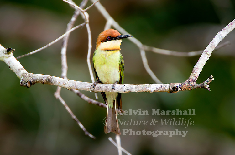 Chestnut-headed bee-eater (Merops leschenaulti) a.k.a. bay-headed bee-eater is a near passerine bird in the bee-eater family Meropidae. It is a resident breeder in the Indian subcontinent and adjoining regions, ranging from India east to Southeast Asia, including Thailand, Malaysia and Indonesia. Bundala National Park - Sri Lanka.
