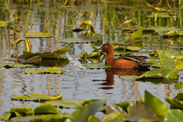 Male Cinnamon Teal duck among Yellow Pond lily leaves (Wocus to Native Americans).  Klamath Marsh National Wildlife Refuge, Oregon.  May.