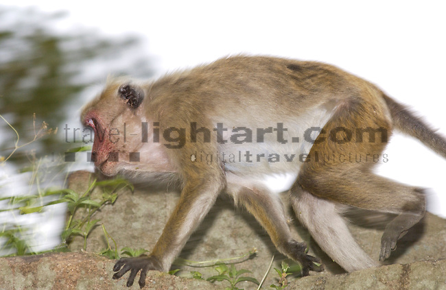 ANURADHAPURA, TEMPLE OF SRI MAHA BODHI, ANURADHAPURA DISTRICT, NORTHERN CENTRAL PROVINCE, SRI LANKA...TOQUE MONKEY, CEYLON-HUTAFFE, (MACACA SINICA),  MEERKATZENARTIGE, OLD WORLD MONKEYS, CERCOPITHECIDAE, 7/5 030,.NATURE, WILDLIFE, TREES, MAMMALS, ANIMAL, FAUNA, ..RELIGION, BUDDHIST, BUDDHA, HISTORICAL SITE, .BODHI-TREE, HOLY TREE, .THE TEMPLE OF SRI MAHA BODHI IS ONE OF THE MOST HOLY PLACES IN SRI LANKA...©Photo: Paul J.Trummer, Mauren / Liechtenstein www.travel-lightart.com