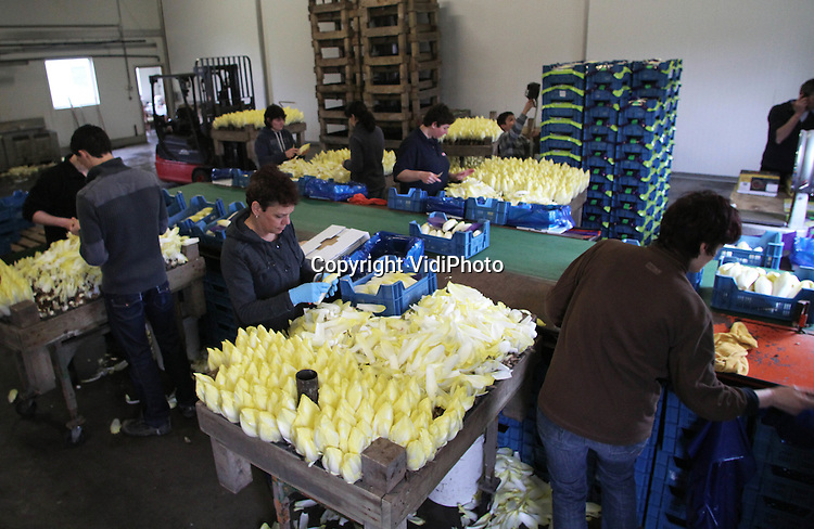 Foto: VidiPhoto..ALPHEN - Bij witlofkwekerij De Leeuw VOF in het Gelderse Alphen wordt maandag hard gewerkt om een verse lading witlof naar de veiling in Zaltbommel te kunnen brengen. Voor witlofkwekers is deze periode de drukste tijd van het jaar, omdat er dan weinig concurrerende groenten in de supermarkten liggen. Ondanks de grote vraag, is het aanbod eveneens enorm, zodat er nauwelijks boven de kostprijs gewerkt kan worden. Personeel van De Leeuw verwerkt bovendien alle witlof met de hand. Klein lichtpuntje is dat Italië de Hollandse witlof heeft ontdekt als een lekkernij. De meeste witlof is echter voor de binnenlandse markt. De Leeuw verwerkt ruim 10 ton witlof per week..