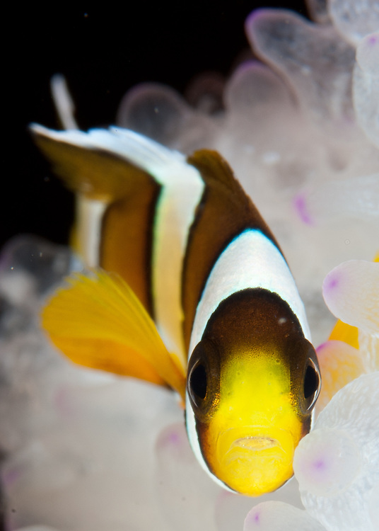 Clark's anemonefish: Amphiprion clarkii in white anemone, Gorontalo, Indonesia