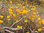 California poppies, Big Basin State Park