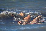 Walrus, Walrus Islands State Game Sanctuary, Alaska