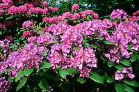 Rhododendron, Rhododendren, Zierstrauch im Garten, Rhododendron spec.