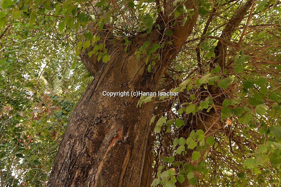 Israel, the Upper Galilee. Syrian Maple (Acer obtusifolium) in Kfar Giladi