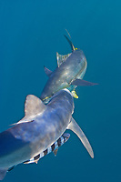 blue shark, Prionace glauca, hunting yellowfin tuna, Thunnus albacares, South Africa