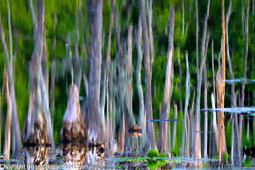 Cypress Knees in a swamp, , Sam Houston Jones State Park, Lake Charles, LA July 2011.  (Photo by Brian Cleary/www.bcpix.com)