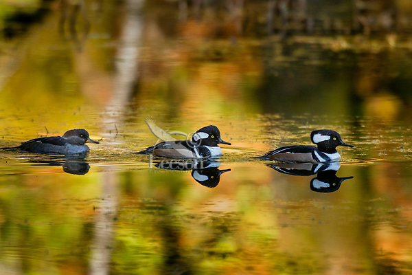 Hooded Mergansers (Lophodytes cucullatus) in old beaver pond along Hoh River, Olympic National Park, WA.<br /> Late Fall.  One female with two male mergansers.