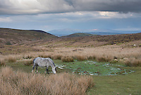 Pony grazing near The Port Way, Asterton, Church Stretton, Ludlow, Shropshire.