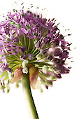 Single Allium Flower
