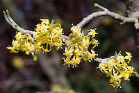 Cornus mas Variegata in spring flowers yellow blooming tree