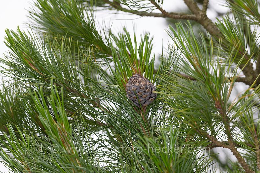 Zirbel-Kiefer, Zirbelkiefer, Zirbel, Arve, Zapfen, Pinus cembra, Arolla Pine, Swiss Stone Pine
