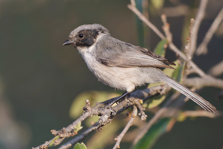 Bushtit - Psaltriparus minimus - Adult male (Black-eared form)