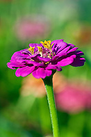Zinnia flower close-up, Asteraceae