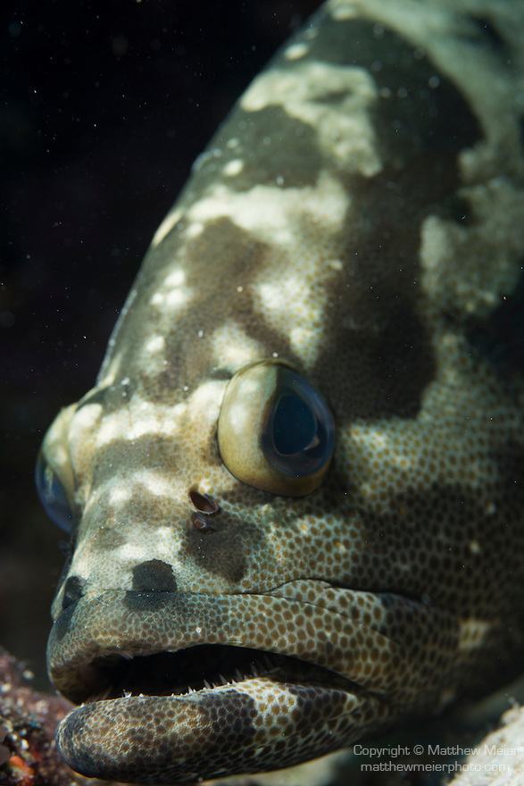 Great Barrier Reef, Australia; a portrait of a Camouflage Grouper resting on the reef