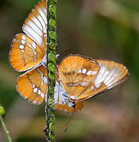 Pair of amymone butterflies