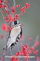 01206-033.05 Downy Woodpecker (Picoides pubescens) female in Common Winterberry (Ilex verticillata) in winter, Marion Co. IL