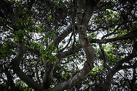 Looking up into the tree, the branches run all directions, like paths in a forest.  San Lorenzo Community Park, California.