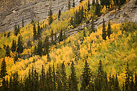 Fall Colors along Icefields Parkway, Banff NP
