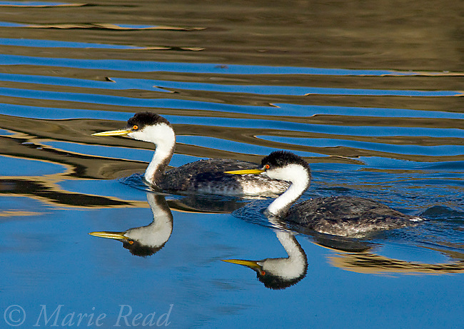 Western Grebe (Aechmophorus occidentalis), pair swimming, with reflections, Bolsa Chica Ecological Reserve; California; USA