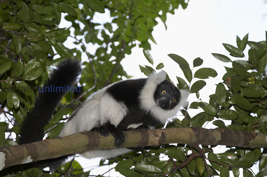 An endangered Black-and-White Ruffed Lemur (Varecia variegata editorium) peering down from a tree, Manombo Special Reserve, Madagascar.