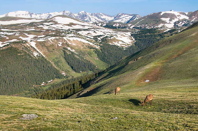 American elk, wapiti, Cervus elaphus, bull, antlers, alpine, Forest Canyon, Never Summer Mountains, morning, wildlife, mammal, nature, summer, July, Trail Ridge, high elevation, Rocky Mountain National Park, Colorado, USA
