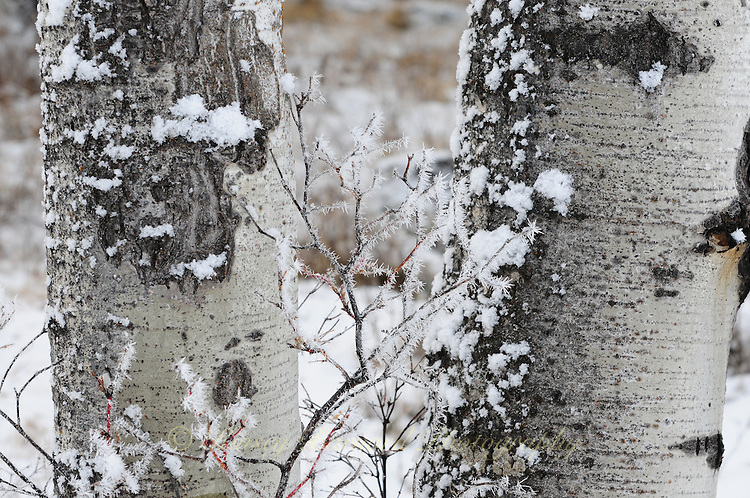 Aspen trunks in winter with snow.