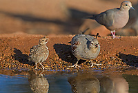 574470021 a wild female and chick gambel's quail drinks from a small pond near green valley arizona united states