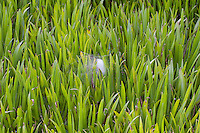 Gerandete Jagdspinne, Listspinne, Netz, Spinnennetz, Gespinst, zwischen Krebsschere, Dolomedes fimbriatus, raft spider, raft-spider, Raubspinnen, Pisauridae