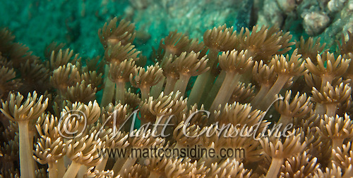 Just like a wave of hands of the crowd at a game of football, the soft coral waves back and forth in the current, filter feeding on micro organisms, Yap Micronesia<br /> (Photo by Matt Considine - Images of Asia Collection) (Matt Considine)
