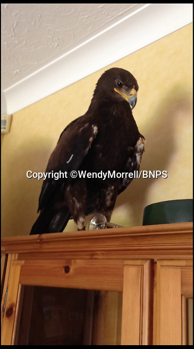 BNPS.co.uk (01202 558833)<br /> Pic: WendyMorrell/BNPS<br /> <br /> ***Please use full byline***<br /> <br /> The bird on its perch.<br /> <br /> A woman was startled when a huge eagle swooped into her front room and landed on a cabinet while she was watching TV.<br /> <br /> Wendy Morrell couldn't believe her eyes when the 18ins tall bird of prey flew through open patio doors and into her lounge in Poole, Dorset, yesterday.<br /> <br /> The bird, a Russian Steppe eagle, knocked over ornaments with its 4ft wings as it landed on a wooden glass cabinet before pecking at a bowl of pot pourri.<br /> <br /> Wendy and friend Karen Ruddlesden tried to tempt the eagle outside using pieces of ham but when their attempts failed they phoned a local bird of prey rescue centre.<br /> <br /> After 30 minutes of trying the eagle was eventually lured down off its makeshift perch using a dead chick.<br /> <br /> It was revealed later that the young bird was called Storm and was being trained up to ward off seagulls at a nearby landfill site.<br /> <br /> It had been reported missing by owner James Moore three days prior to turning up at Wendy's house after it broke its tethers.