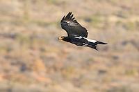 Black Eagle in flight