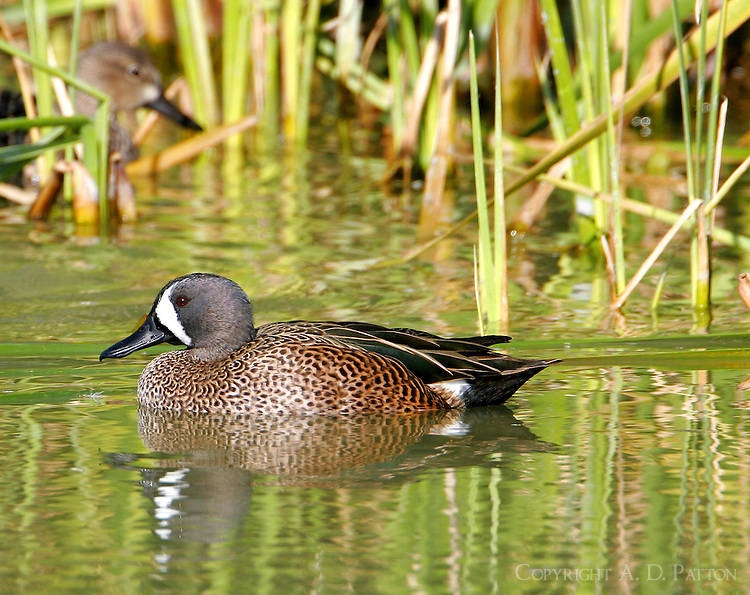 Blue-winged teal adult male swimming next to shore