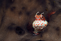 Redspotted Blenny, Blenniella periophtalmus, peering out from its burrow, surrounded by sponge. Passage Island, Andaman Islands, Andaman Sea; India