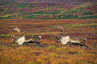 Barren-ground Caribou bulls (Rangifer tarandus granti) in early September amid fall color of tundra in Denali National Park, Alaska, U.S.A.