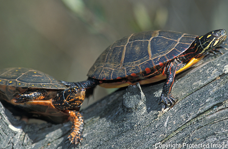 Spotted Turtle; Clemmys guttata; and Painted Turtle; NJ, Pine Barrens