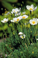 Alpen-Mohn, Alpenmohn, Weißer Alpenmohn, Papaver alpinum, Alpine Poppy, Pavot de Burser, Pavot des Alpes