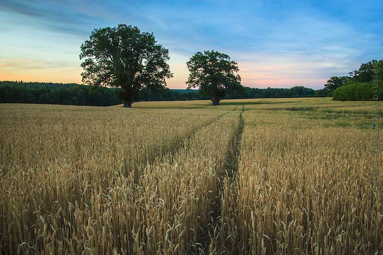 En ek på ett sädesfält i Hammersta naturreservat Nynäshamn i Stockholms län. An oak tree in a corn field in Hammersta Reserve Nynashamn in Stockholm Sweden.