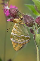 Kaisermantel, Männchen, Silberstrich, Unterseite, Flügelunterseite, Argynnis paphia, Silver-washed fritillary, male, Le Tabac d'Espagne, Edelfalter, Nymphalidae
